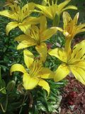 Yellow lilies. A group of lilies shine in the midday sun Royalty Free Stock Photos