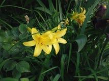 yellow lilies growing in summer garden Stock Photos