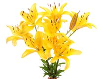 Yellow lilies, isolated. Royalty Free Stock Photography