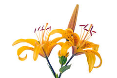 Yellow lilies isolated on white Royalty Free Stock Photography