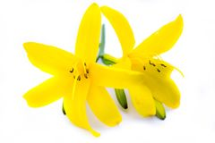 Yellow lilies isolated on white background royalty free stock photos