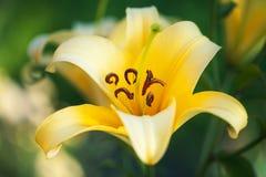 Yellow lilies Stock Photos