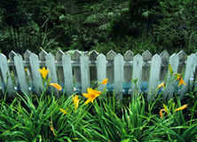 Yellow lilies by old wooden fence Royalty Free Stock Photography