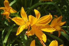 Yellow lilies with orange shadows on a background of green grass, close-up Royalty Free Stock Photo