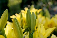 Yellow lilies at summer garden Stock Photography
