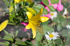 Yellow lilies in the summer garden on a blurred background of ot Stock Photos