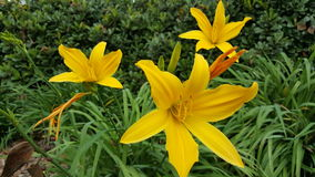 Yellow Lilies. Three yellow lilies in a clump of leaves Stock Photos