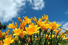 Yellow lilies under blue sky. Yellow lilies blooming under blue sky stock image