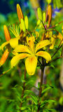 Yellow lilies. Yellow tiger lilies Royalty Free Stock Photos