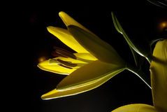 Yellow lilium Royalty Free Stock Photo