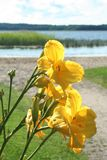 Yellow lilium on the background of see. In Ekenas, Finland stock photos