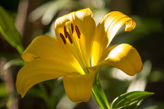 Yellow Lilium Flower Royalty Free Stock Photos