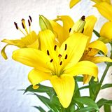 Yellow lilium flowers on white wall background. Vibrant yellow lilium fresh flowers closeup on white wall background Royalty Free Stock Image