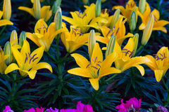 Yellow of Lilium hybrids or Lily flower. Stock Photos