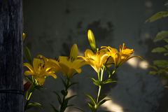 Yellow Lilium Stock Photo