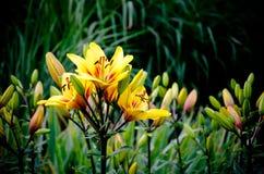 Yellow liljan royaltyfria foton