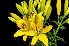 Yellow lillies 1. Yellow lillies on the black background royalty free stock photo