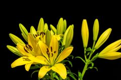 Yellow lillies 2. Bunch of yellow lillies on the black background stock photography