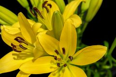 Yellow lillies 3. Close up of yellow lillies on the black background royalty free stock photo