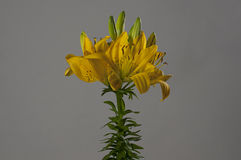 Yellow Lillium flower Royalty Free Stock Photo