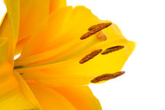 Yellow lilly Royalty Free Stock Photo