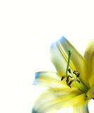 Yellow lilly. Over white background Stock Photos