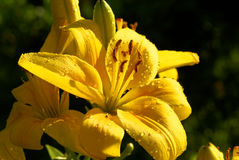 Yellow lilly. Yellow wet flower in the afternoon sun stock photo