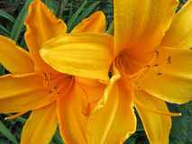 2 yellow lillys Lillium. Closeup of two yellow  lilies Royalty Free Stock Photos