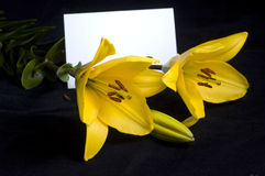 Yellow lily. Yellow flowers isolated on the black background royalty free stock images