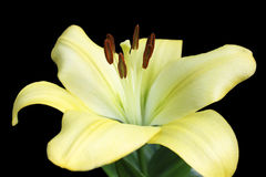 Yellow lily Stock Photography