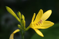 Yellow Lily. A close up shot of a yellow lily in bloom royalty free stock photo