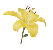 Yellow lily. Isolated on a white background royalty free stock image