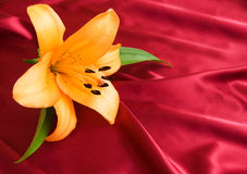 Yellow lily Royalty Free Stock Images