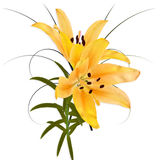 Yellow Lily. Royalty Free Stock Photos