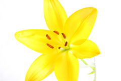 Yellow Lily. Isolated shot of a yellow lily on white background Royalty Free Stock Image