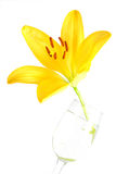Yellow Lily. Isolated shot of a yellow lily on white background Royalty Free Stock Photo