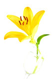 Yellow Lily. Isolated shot of a yellow lily on white background Royalty Free Stock Photos