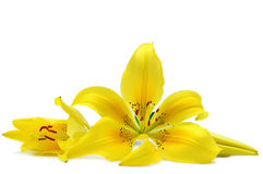 Yellow lily Stock Image