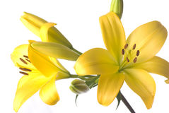 Free Yellow Lily. Stock Images - 6861124