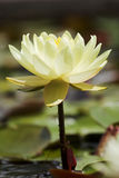 Yellow lily. Yellow waterlily Stock Photos