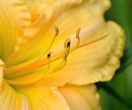 Yellow Lily Royalty Free Stock Photography
