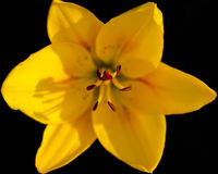 Yellow lily on a black background Stock Photos