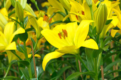 Yellow Lily Blossom. Yellow Lily blossom  in the garden Stock Photo