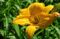Yellow lily blossom in the garden Royalty Free Stock Photos