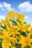 Yellow Lily Royalty Free Stock Image