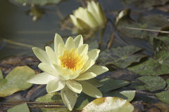 Yellow lily in a botanical garden's pond.  royalty free stock photography