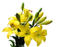 Yellow lily bouquet Stock Images