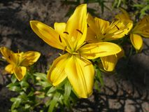 Yellow lily. Yellow bright pixie in sunny light Royalty Free Stock Image