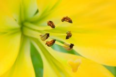 The yellow lily with brown stamens macro Stock Photo