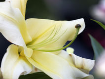 Yellow lily bud Royalty Free Stock Image
